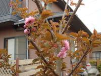 Sakura_1_2