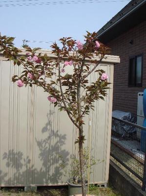 Sakura0505_3