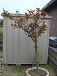 Sakura0506_2